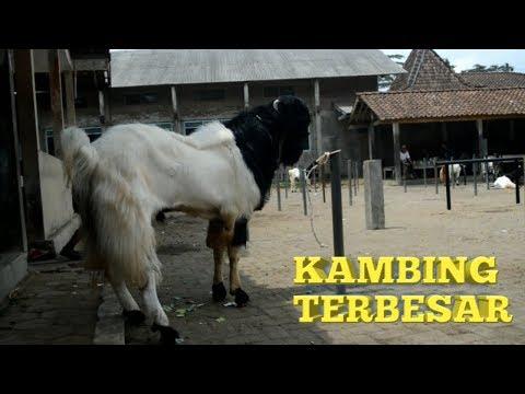 wisata-kambing-terbesar-di-dunia