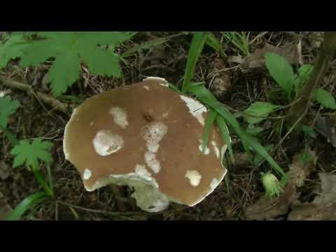 КАК РАСТЁТ БЕЛЫЙ ГРИБ?Посуточное наблюдение,недельного роста гриба белого.