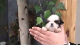 Gorgeous Fancy Teacup Puppy Micro Shihtzu For Sale