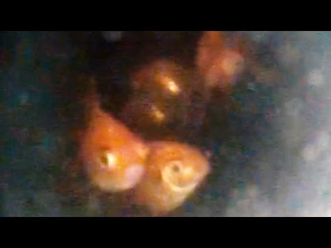 Plumber Rescues Goldfish Family From Toilet