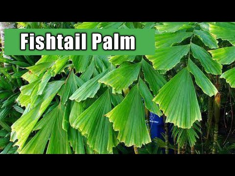 How To Grow Fishtail Palm Plant | Care Of Fishtail Palm Tree | Fishtail Palm Tree | Caryota Mitis