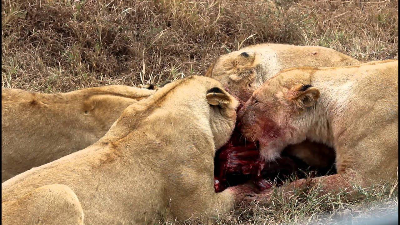 man eaten by lion - 1280×720