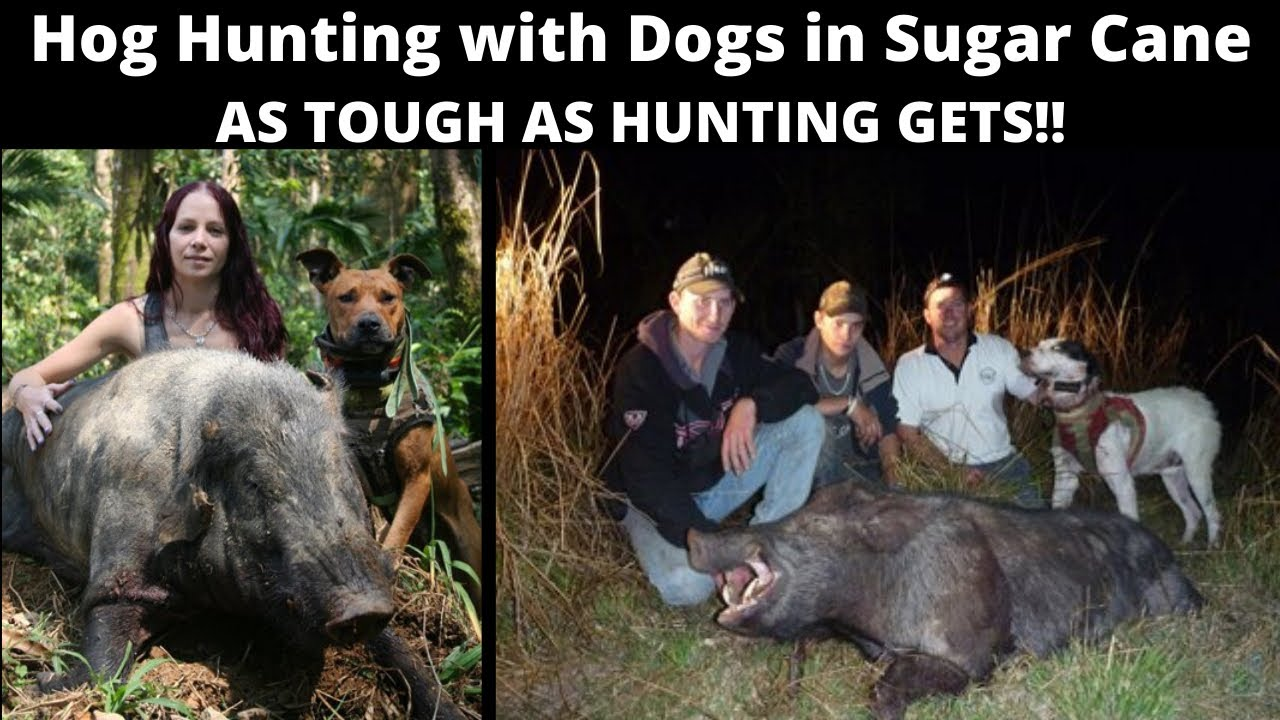 Wild Boar Hunting with dogs in Queensland Sugar Cane. Some of the hardest hunting going!
