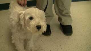 Anyone In Savannah Know This Dog? White Schnauzer Mix Found Near The Landings