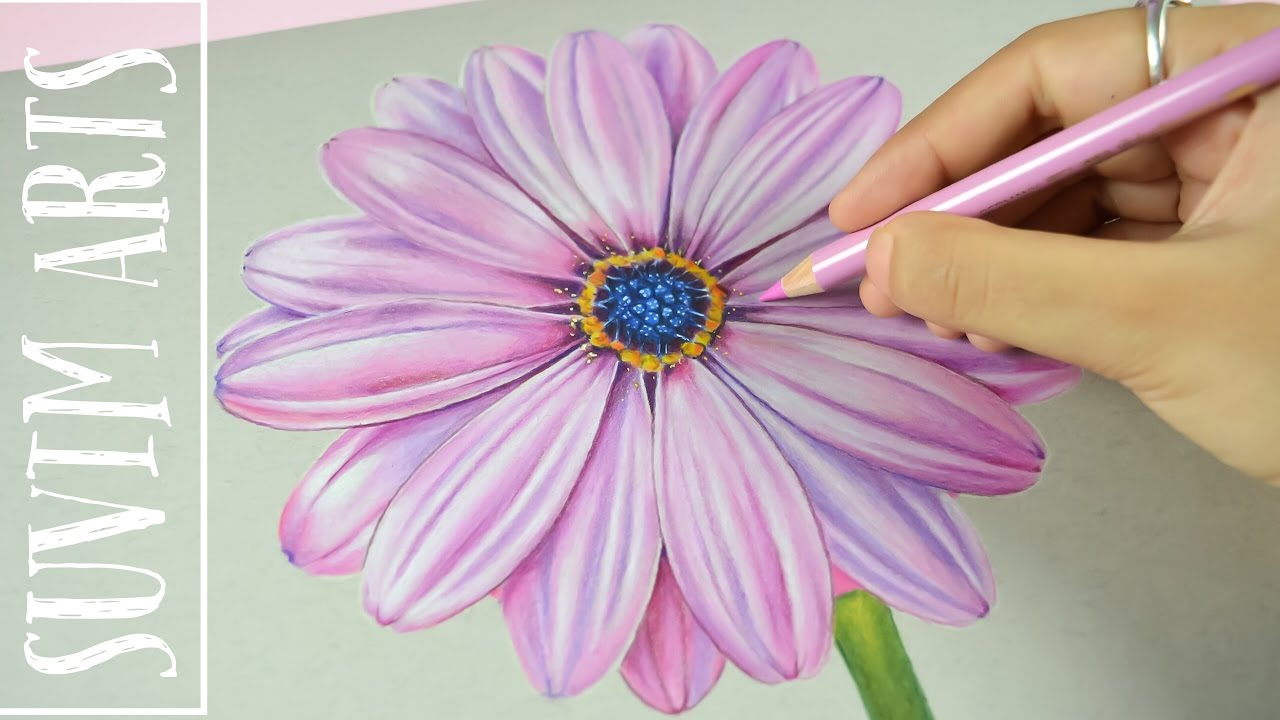 Timelapse drawing violet daisy flower with colored pencil faber castell polychromos