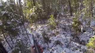 На медведя с Западно-Сибирской Лайкой