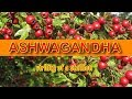 Download Lagu Ashwagandha - A herb for men with multiple health benefits.mp3