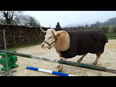 Ever Seen a Showjumping Cow Before?