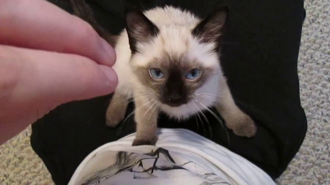 25  Adorable Ragdoll Siamese Kittens