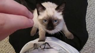 Siamese / Ragdoll Kitten Purring