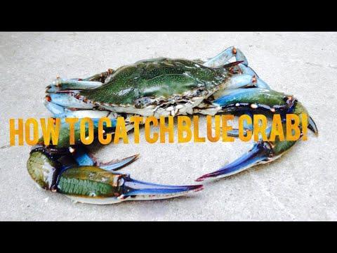 Giant Blue Crab Gulf Shores Alabama