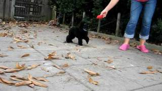 Rocking Robin van Klein-Nulland ,miniature poodle