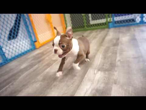 Boston Terrier Girl