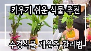 수경식물 개운죽 목욕하는 날♀️