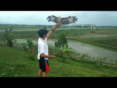 "Elang Bondol Soaring Di Jalan Tol Cipali ""Majalengka Falconry"""