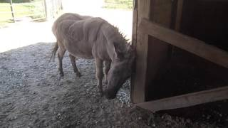 Dwarf donkey scratching