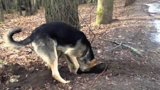 Пёс роет яму