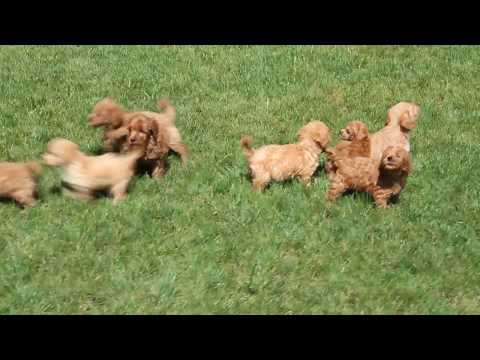 Miniature Labradoodle Puppies for Sale!!!