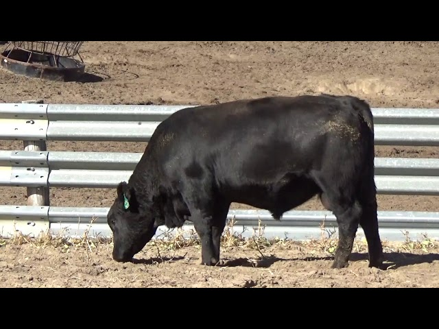 Connealy Angus Lot 98