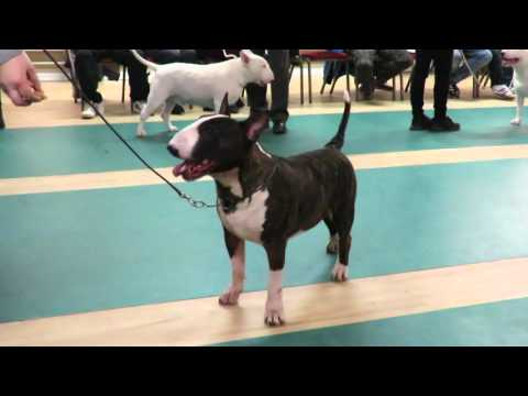 West of England Bull Terrier Club Championship Show March 2016 Limit Dog