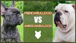 FRENCH BULLDOG VS AMERICAN BULLDOG
