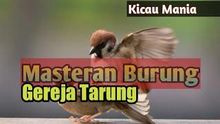 Masteran   Burung Gereja Suara Rapat
