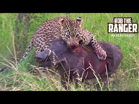 AMAZING! Leopard, Hyena & Warthog: An Unlikely Outcome (Rare Sighting)