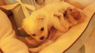 Dsk's Maltese Chihuahua Puppies, Malchi Puppyhood Episode #2
