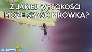 Czy mrówka może zginąć spadając z wysokości?