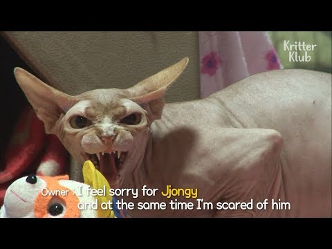 Crazy Cat Attacks People All The Time | SBS Animal