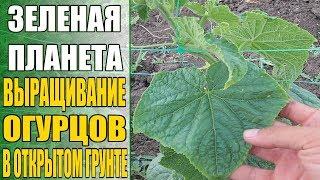 Технология выращивания огурцов в открытом грунте / Как заработать на выращивании огурцов (начало)