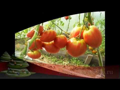 """Сорт помидора """"Любимый праздник""""."""
