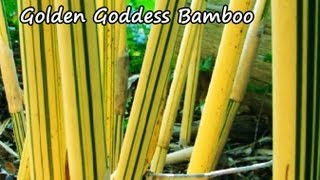 *Golden Goddess Bamboo Plants* +Fast Growing Privacy Barrier+