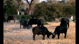 Wild Африка Cape Buffalos test their strength in Nkorho, SA4 Капские буйволы меряются силой