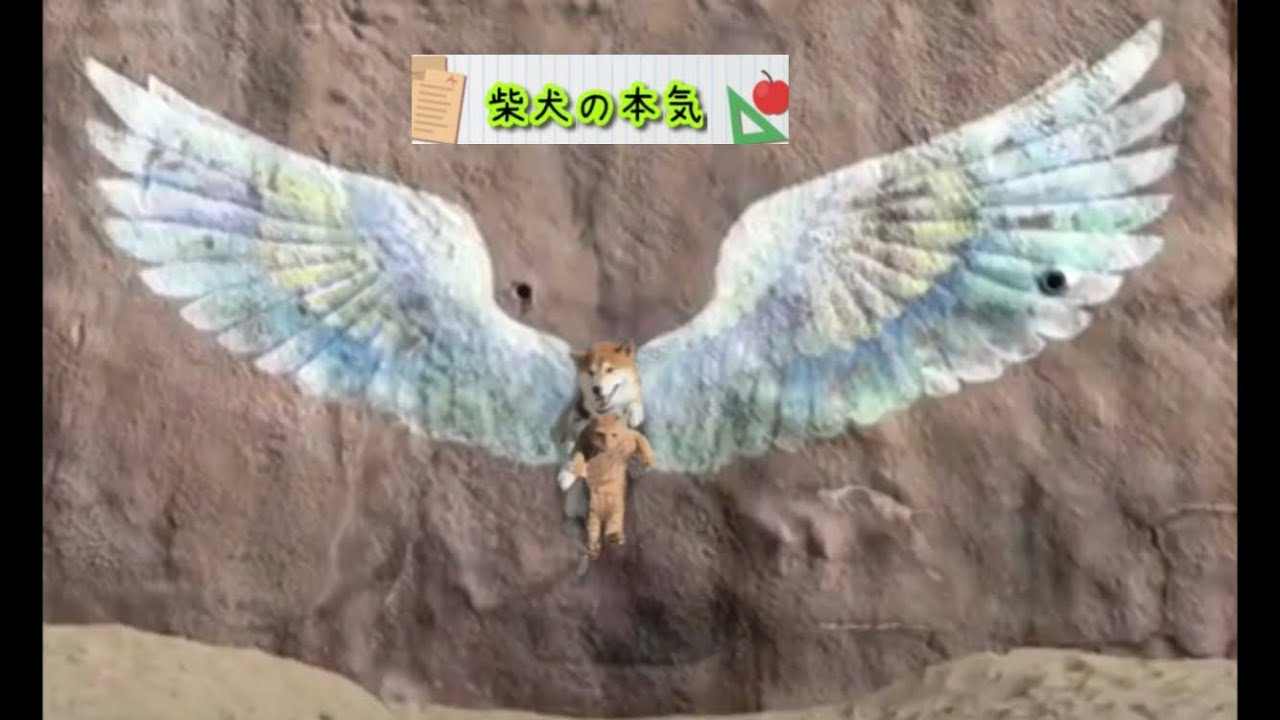 【柴犬】有名バエスポットに行ったら柴犬と柴猫が天使に見えた柴犬の本気【柴猫】※クイズなんちゃって超難問始めさせられました。