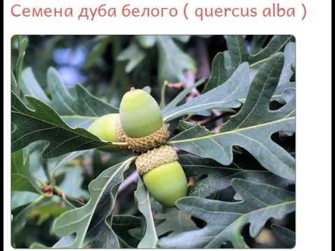 Семена дуба белого  quercus alba  купить продажа