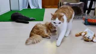 【マンチカンズ】猫ぬいぐるみの爆笑が激しすぎる ~ The explosive laghter of a cat ~ thumbnail
