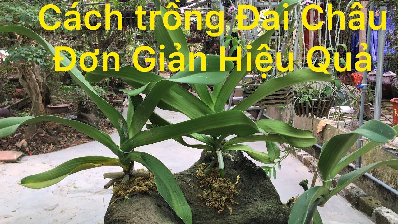 Cách trồng Đai Châu | Ngọc Điểm vào gỗ luax