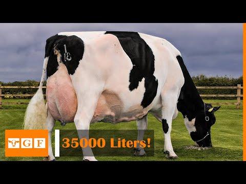 Dünyanın En Çok Süt Veren İnek Irkı - Alaca İnek Irkı