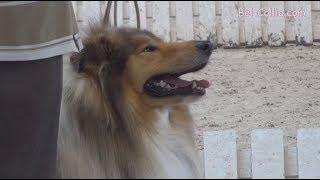 МЕЖДУНАРОДНАЯ ВЫСТАВКА СОБАК CACIB INTERNATIONAL DOG SHOW, ринг колли