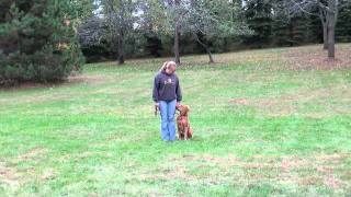 Coda (golden Retriever) Obedience Training Demonstration