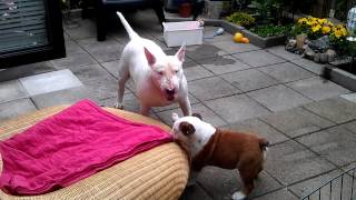 Bulldog Vs Bull Terrier