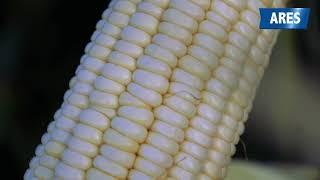 A pesar de que casi no llovió, sí rindió el maíz