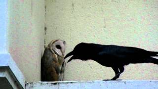 SRamanujan: Barn Owl attacked by Crow
