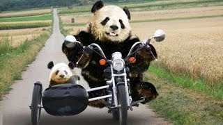 Funny Pandas Compilation • Try Not to Laugh Challenge   Funny Animal Videos