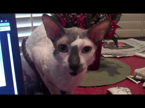 Most Annoying Cornish Rex In The World