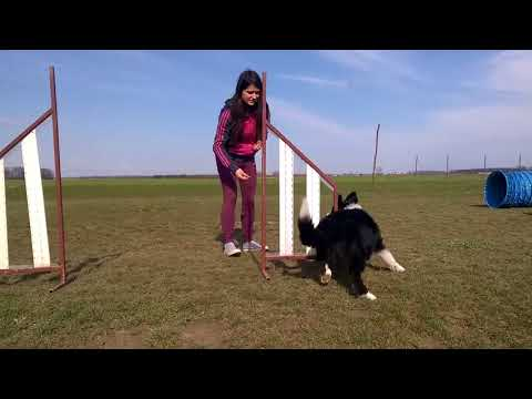 Border Collie - Puppy Tricks | Bolt (NEW 2018)