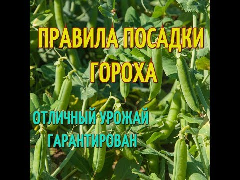 Как посадить горох? Посев гороха в открытый грунт. Подготовка гороха перед посадкой.
