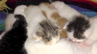 Cute Kittens: 16 Days Old--Pinto and the Beans Move House