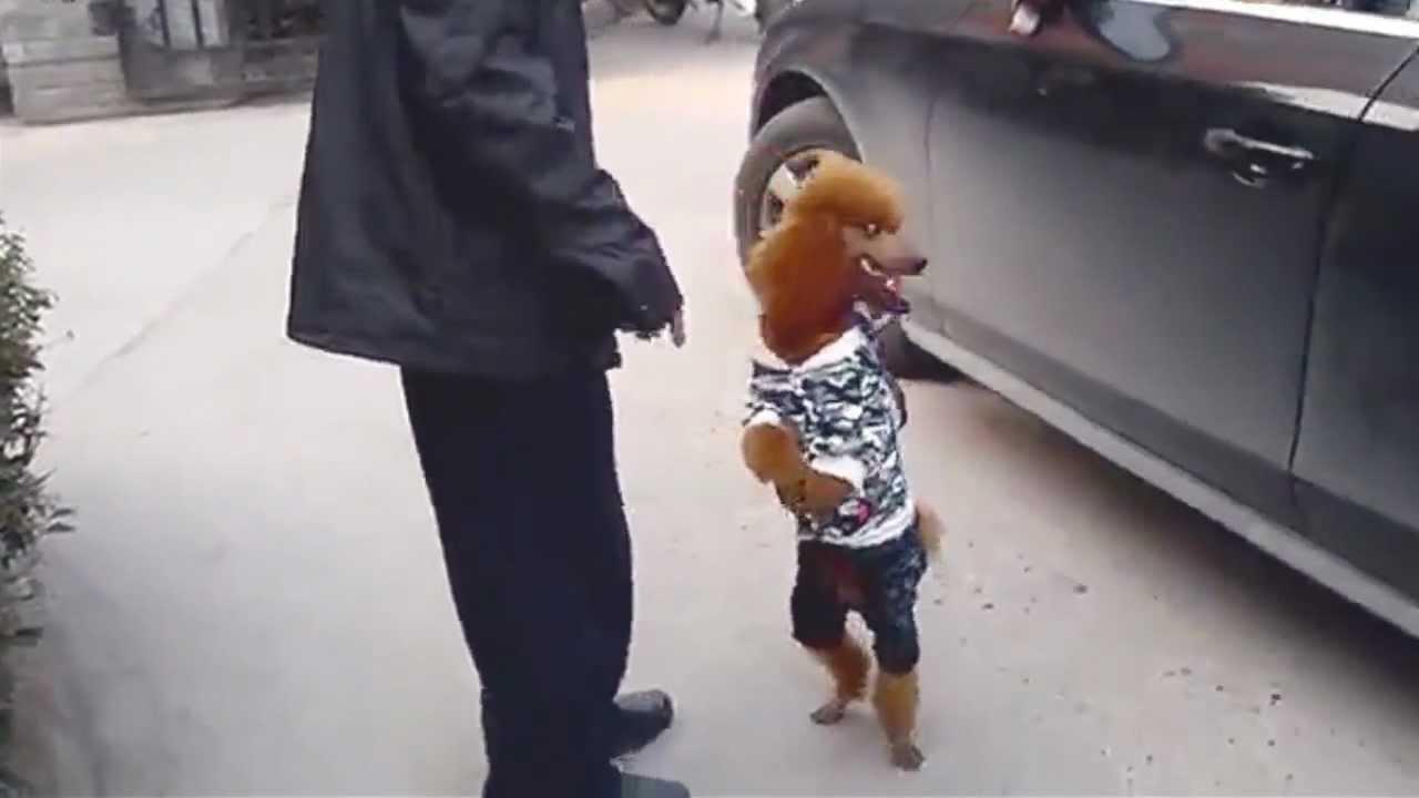 Chien qui marche sur les pattes arrières ! - YouTube